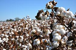 cottonseeds