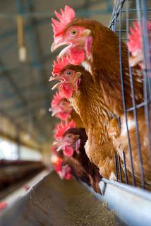 Istock Chicken